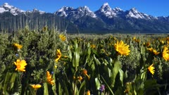 walking in a field of yellow flowers with grand teton in the background at grand teton national park in the united states