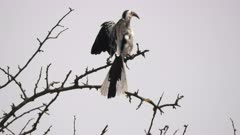 50% slow motion of a southern yellow billed hornbill at tarangire national park in tanzania- originally recorded at 60p
