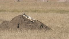 a cheetah surveys its territory from a dirt mound at serengeti national park in tanzania on a hot dry season day