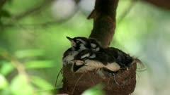 three australian magpie lark babies sleeping in a nest
