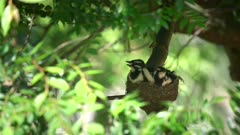 one baby magpie lark in a nest is fed by a parent bird in australia