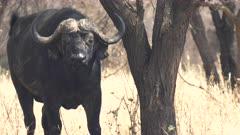 a male cape buffalo looks at camera in tarangire national park in tanzania