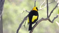 rear view of a beautiful male regent bowerbird at a walk-in avairy in new south wales, australia