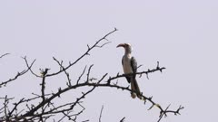 a southern yellow billed hornbill, in a tree, preens its feathers at tarangire national park, anzania
