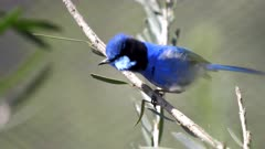 close up of a male splendid fairy wren on a branch in a walk in avairy at tathra in new south wales, australia