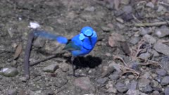 a splendid fairy wren on the ground at a bird park in new south wales, australia