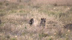 backlit hyenas sitting in grass at serengeti national park in tanzania