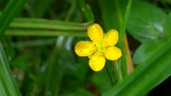 close up of a buttercup flower at hoh rainforest in the olympic national park of the us pacific northwest