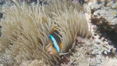 close up of a blue stripe clownfish and anemone on a shallow reef on the somosomo strait in fiji