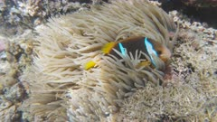 two blue stripe clownfish in a sea anemone at a shallow reef in the somosomo strait in fiji