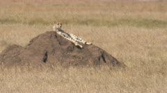 4K 60p clip of cheetah using a termite mound as a vantage point at serengeti national park in tanzania