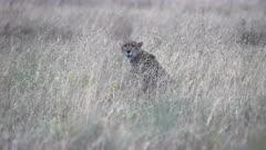 4K 60p clip of a cheetah sitting in long grass of the savanna at serengeti national park in tanzania