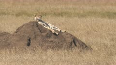 a 4K 60p clip of a cheetah on a termite mound watching the serengeti national park in tanzania on a hot dry season day.