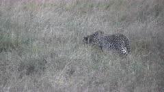a cheetah walks stealthily in long grass at a savanna in serengeti national park in tanzania