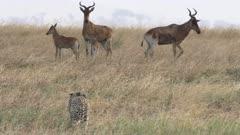 4K 60p close up of two cheetah watching hartebeest antelope at serengeti national park in tanzania