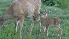 a close view of a fawn and doe feeding together at hurricane ridge in the olympic national park of the us pacific northwest