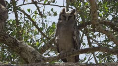 wide shot of a giant eagle owl turning its head to look at camera at serengeti national park in tanzania