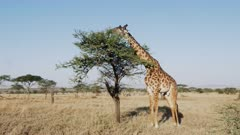 wide angle view of a giraffe feeding on acacia leaves at serengeti national park in tanzania, africa