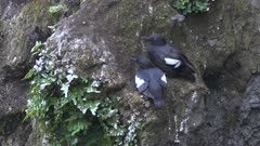pair of pigeon guillemot birds nesting on a cliff face at cape flattery in the olympic national park of the us pacific northwest