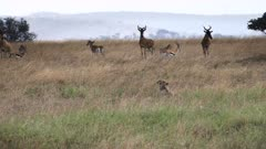 nervous hartebeest and antelope watch a pair of cheetah stalking their young at serengeti national park in tanzania
