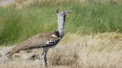 4K 60p shot of a kori bustard bird walking out of shot at serengeti national park in tanzania