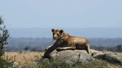 a lioness rests and surveys her territory from a kopje during a hot dry season day at serengeti national park in tanzania