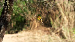 a little bee eater perched in an acacia tree flies away at serengeti national park in tanzania