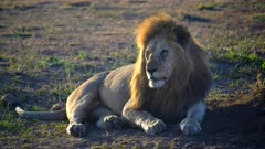 a majestic male lion, back lit by morning sun, looks to the left at serengeti national park in tanzania