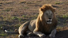 a male lion, back lit by morning sun, looks to the right at serengeti national park in tanzania, africa