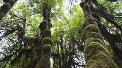 canopy to forest floor tilt down clip of moss covered maples at hoh rainfores in the olympic national park of the us pacific northwest