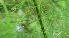 close up of a horsetail plant beside a creek at hoh rain forest in the olympic national park of the us pacific northwest