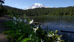 close up of avalanche lilies at reflection lake in mt rainier national park of washington state in the us pacific northwest