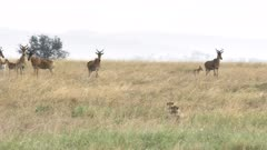 hartebeest herd become nervous as a cheetah pair stalk them at serengeti national park in tanzania- a 4K 60p clip