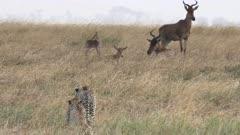 a 60p 4K close up of a cheetah pair stalking hartebeest antelope at serengeti national park in tanzania