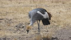 4K 60p tracking shot of a gray crowned crane approaching at ngorongoro crater in tanzania