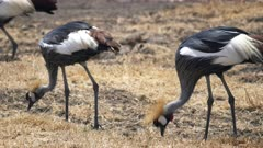 gray crowned crane flock feeding at ngorongoro crater- part of the ngorongoro conservation area in tanzania