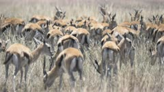a 4K 60p close shot of a gazelle herd at serengeti national park in tanzania