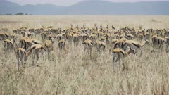 a 4K 60p clip of a gazelle herd with tails wagging at serengeti national park in tanzania, africa