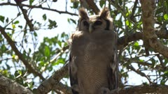 a 4K 60p close view of a giant eagle owl resting in a tree at serengeti national park in tanzania