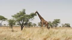 wide view of a giraffe feeding on an acacia tree at serengeti national park in tanzania