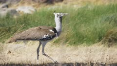 4K 60p tracking shot of a kori bustard bird at serengeti national park in tanzania