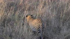 tracking shot of a leopard walking away from the camera at masai mara national reserve in kenya, africa