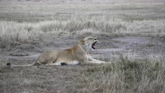 wide shot of a lioness yawning at masai mara national reserve in kenya, africa