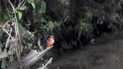 a malachite kingfisher perched beside a stream at masai mara national reserve in kenya, africa