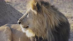 4K 60p clip of a beautifully front lit male lion looking up and at camera in serengeti national park in tanzania