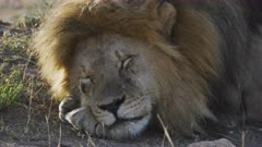 a 4K 60p clip of a sleepy male lion at serengeti national park in tanzania
