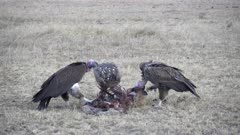 three vultures feed on a carcass at masai mara national reserve in kenya, africa