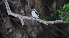 a woodland kingfisher perches by a stream at masai mara national reserve in kenya, africa