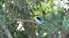 4K 60p wide shot of a woodland kingfisher perched on a branch at masai mara national reserve in kenya, africa