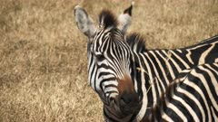 close up of a zebra shaking its head at ngorongoro crater in tanzania